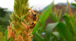 V粉木木 | 玉米田里的蜂蜜